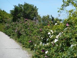 Road.roses